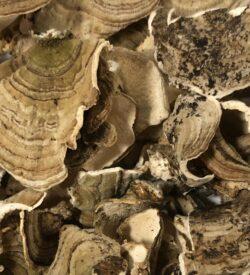 Turkey Tail Mushroom Bulk